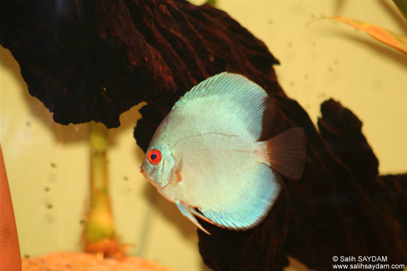 Angel Blue Diamond Discus Photo Gallery 1