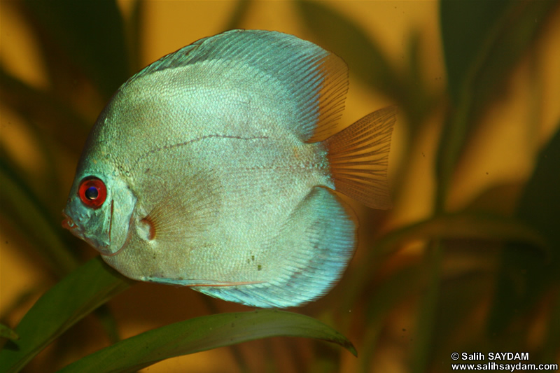 Angel Blue Diamond Discus Photo Gallery 2