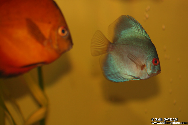 Angel Blue Diamond Discus & Marlboro Rojo Discus Photo Gallery