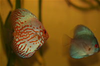 Angel Blue Diamond Discus & White Pigeon Discus Photo Gallery