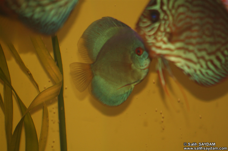 Angel Blue Diamond Discus & Red Turquoise Discus Photo Gallery