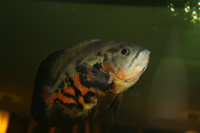 Oscar Fish Photo