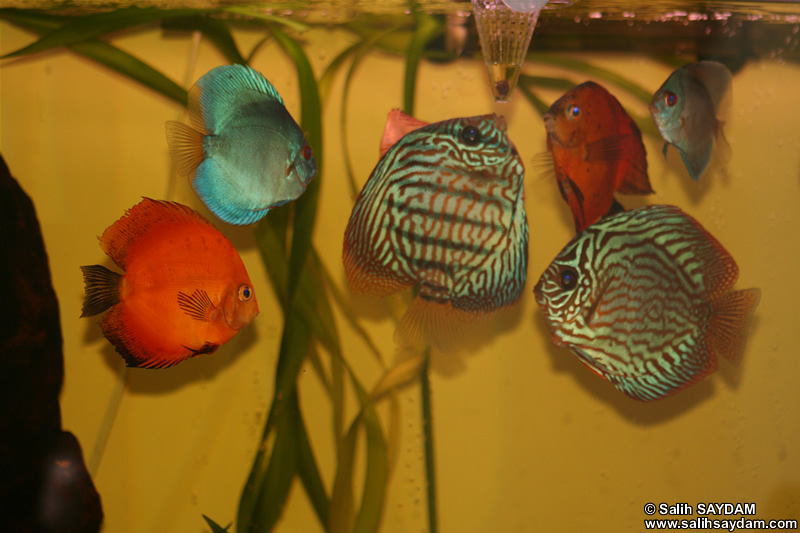 Various Discus Photo Gallery 2