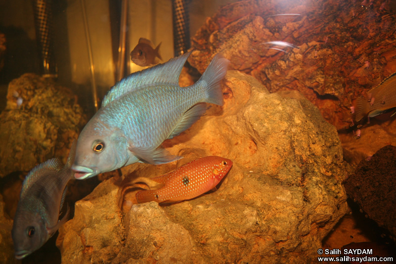 Yellow Peacock Cichlid, Jewel Cichlid & Malawi Blue Dolphin Cichlid Photo