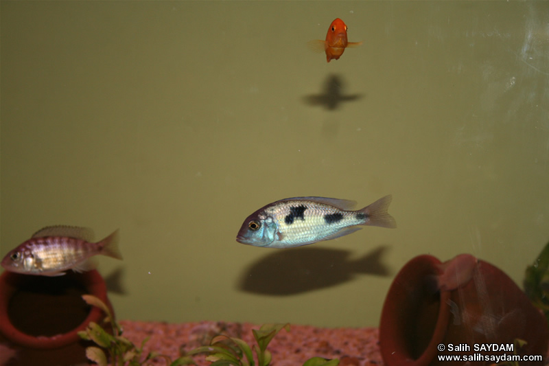 Electric Yellow Cichlid, Yellow Peacock Cichlid & Malawi Blue Dolphin Cichlid Photo Gallery
