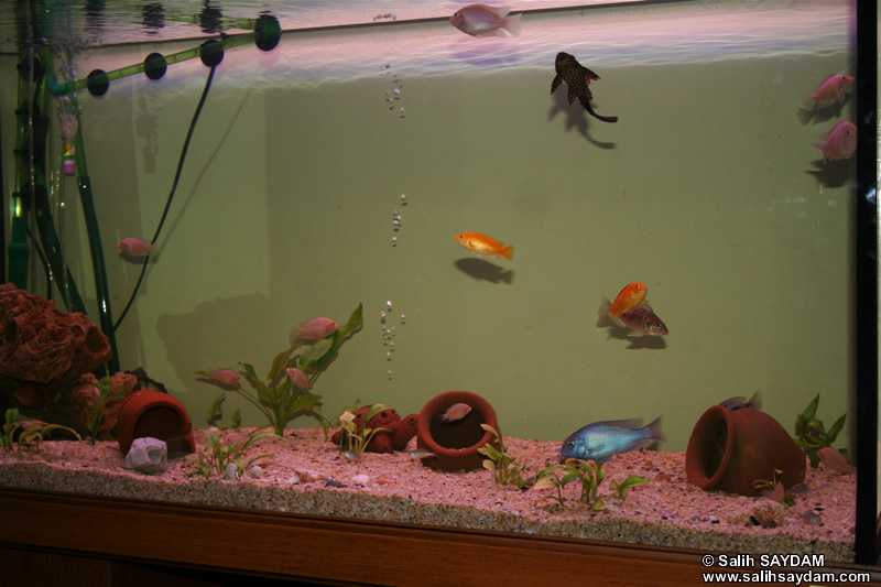 Electric Yellow Cichlid, Yellow Peacock Cichlid, Malawi Blue Dolphin Cichlid, Albino Zebra Cichlid & Pleco Photo Gallery