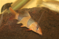 Clown Loach Photo Gallery
