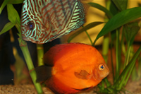 Marlboro Rojo Discus & Red Turquoise Discus Photo Gallery