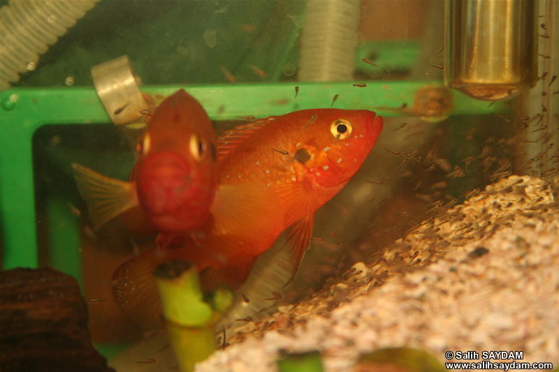 Jewel Cichlid (Breeding) Photo Gallery