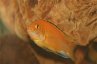 Electric Yellow Cichlid Photo Gallery 2