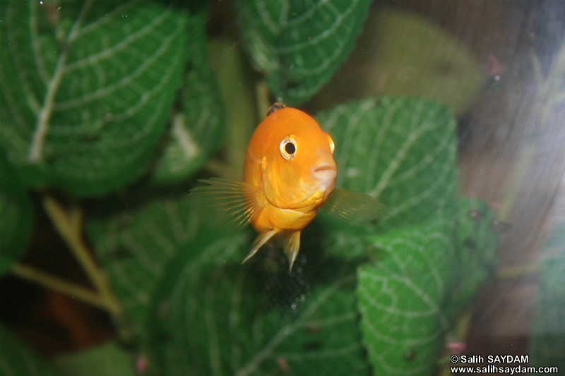 Electric Yellow Cichlid Photo Gallery 3