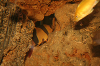 Electric Yellow Cichlid & Clown Loach Photo 2
