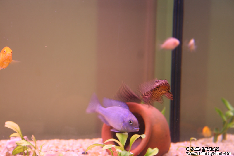 Electric Yellow Cichlid, Malawi Blue Dolphin Cichlid, Albino Zebra Cichlid & Pleco Photo Gallery