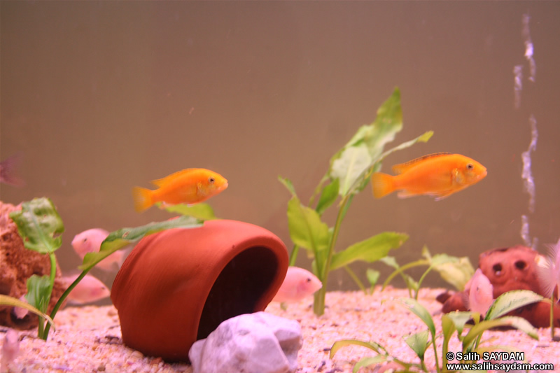 Electric Yellow Cichlid & Albino Zebra Cichlid Photo Gallery