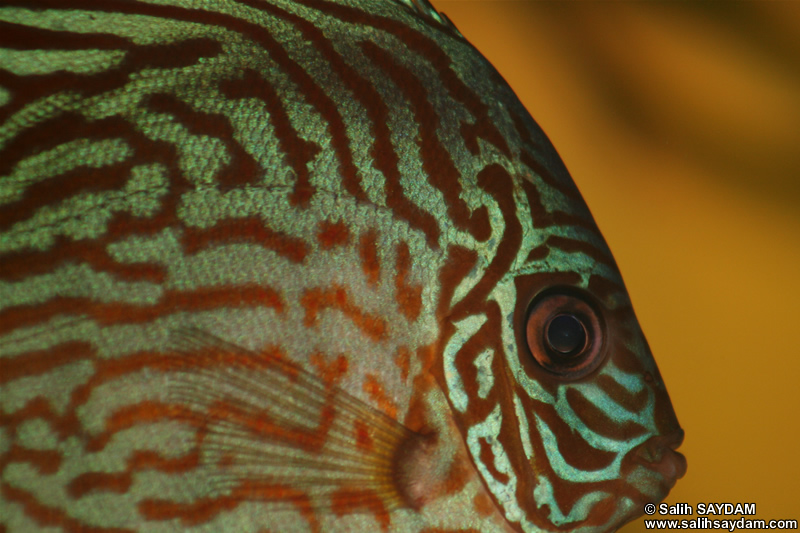 Red Turquoise Discus Photo Gallery 2