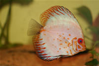 White Pigeon Discus Photo Gallery 1