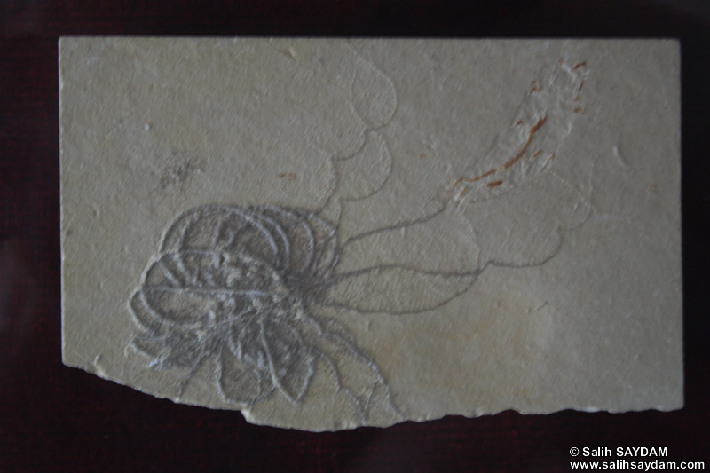 Crinoidea Fossil Photo Gallery (Izmir, Cesme)
