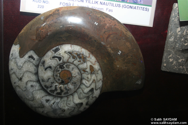 Nautilus Fossil Photo Gallery (Izmir, Cesme)