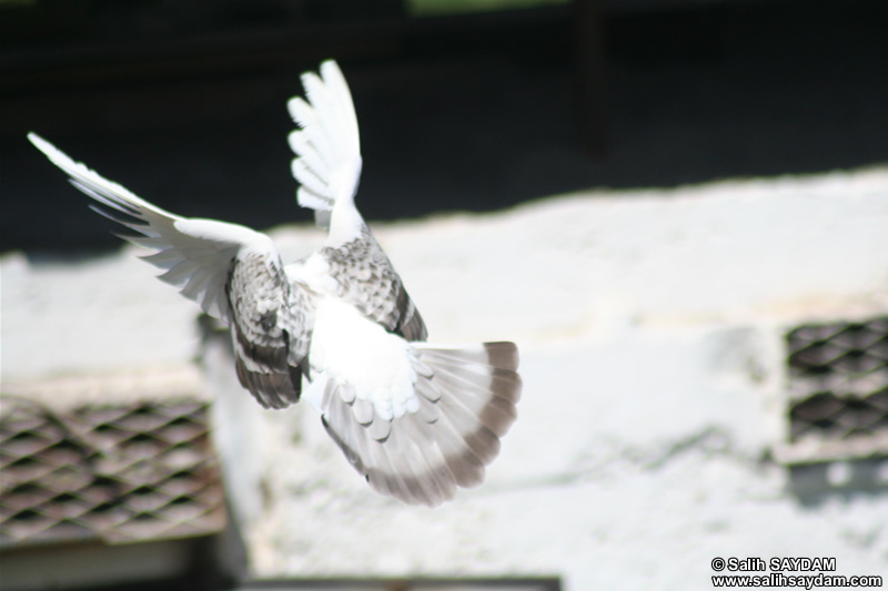 Pigeon Photo Gallery 1 (Ankara)