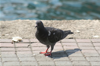 Pigeon Photo Gallery 4 (Istanbul, Kanlica)