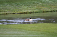 Canada Goose Photo Gallery 3 (Cardiff, Whales, United Kingdom)