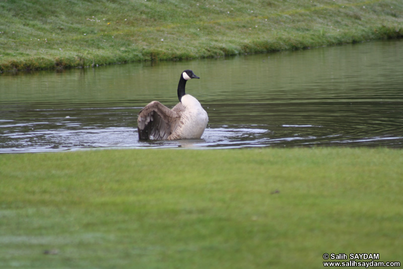 Canada Goose Photo Gallery 4 (Cardiff, Whales, United Kingdom)