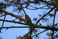 European Robin Photo Gallery (Cardiff, Whales, United Kingdom)
