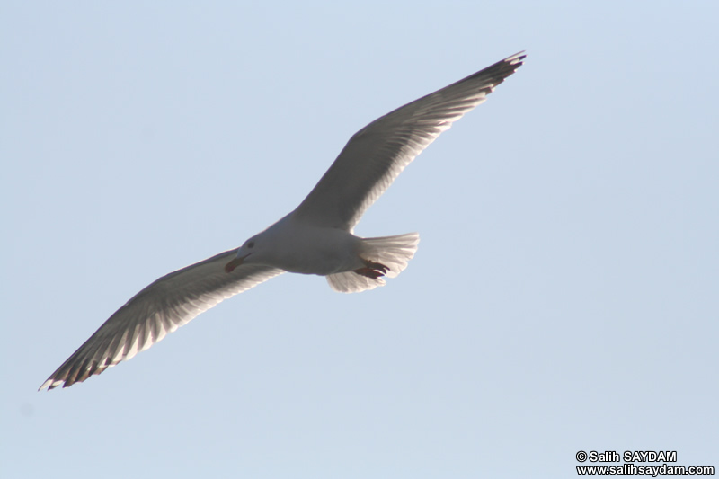 Seagull Photo Gallery 10 (Bartin, Amasra)