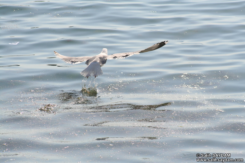 Seagull Photo Gallery 11 (Bartin, Amasra)