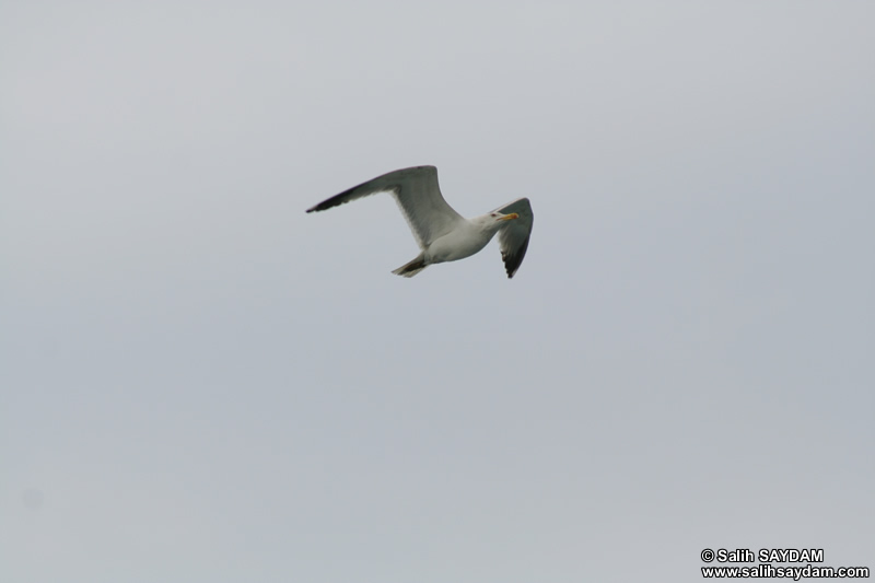 Seagull Photo Gallery 15 (Yalova-Pendik Ferry)