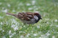 Sparrow Photo Gallery 2 (Ankara, Lake of Eymir)