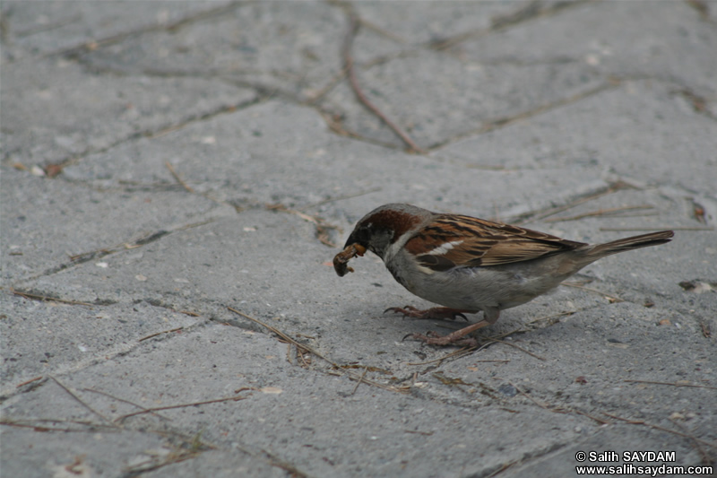 Sparrow Photo Gallery 4 (Mersin, Silifke)