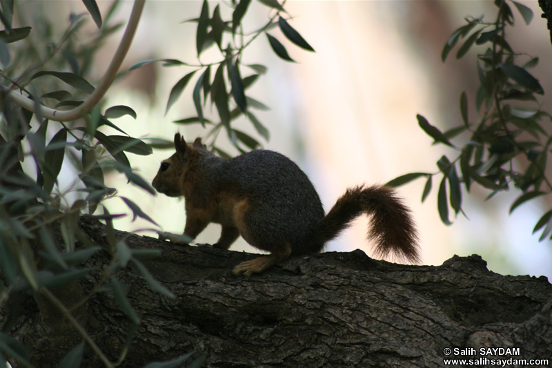 Squirrel Photo Gallery 2 (Izmir, Selcuk, Meryem Ana)