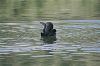 Coot Photo Gallery 2 (Ankara, Lake of Eymir)