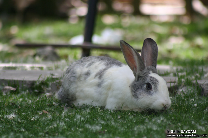 Rabbit Photo Gallery 3 (Ankara, Lake of Eymir)
