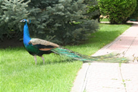 Peacock Photo Gallery (Ankara)