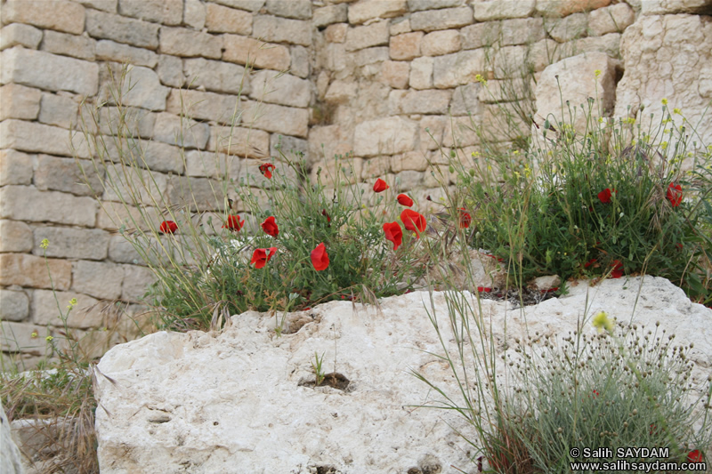 Mersin Flower Photo Gallery 2 (Erdemli, Kizkalesi (Maiden's Castle))